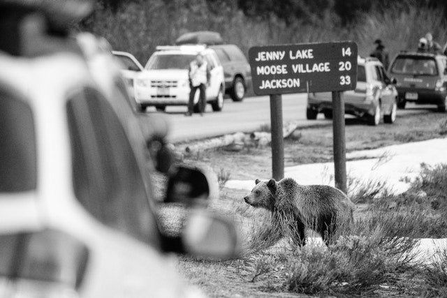 A grizzly bear cub standing in front of a sign next to a road, which is packed with cars and photographers pulled over to the side.