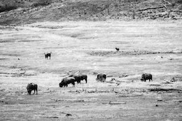 A wolf stalking a herd of bison and their red dogs in the Lamar Valley.