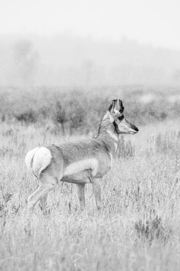 A pronghorn walking on a grassy field while it snows. Its fur is wet.