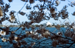 The Jefferson Memorial, framed by cherry blossoms.