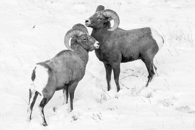 Two bighorn sheep ram standing in front of each other. They're standing on a snow-covered hillside, looking in opposite directions.