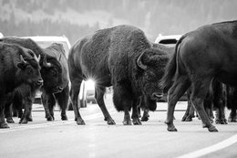 A bison jam at Elk Ranch Flats, with about8 bison blocking the road in front of a handful of cars.