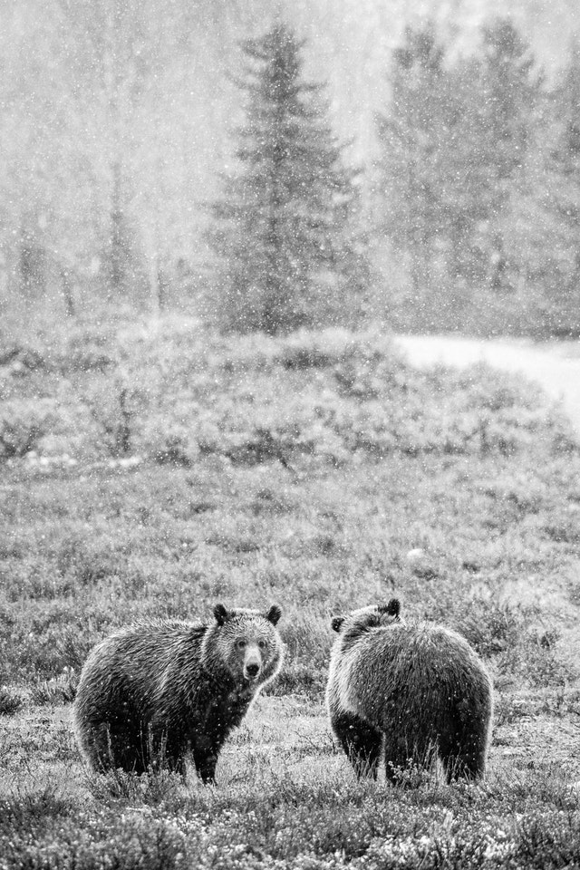 Two grizzly bears standing among sage brush in snowfall. The one on the left is looking towards the camera, the one on the right is looking away.
