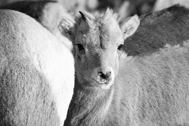 A close-up of a bighorn sheep lamb among other bighorn sheep, at the National Elk Refuge in Wyoming.