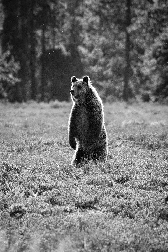 A juvenile grizzly standing on two legs.