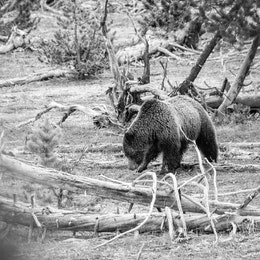 A grizzly sow digging for grubs in the rain near some fallen trees.