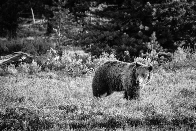 A grizzly sow walking in the brush near Pilgrim Creek, and looking off to one side.