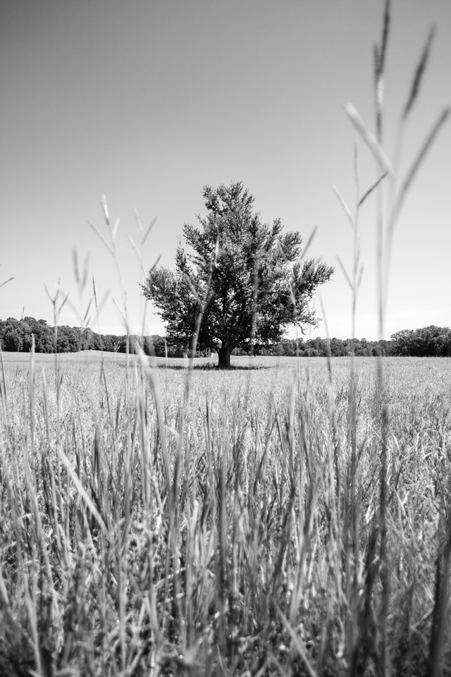 A lone tree at the Chickamauga battlefield.