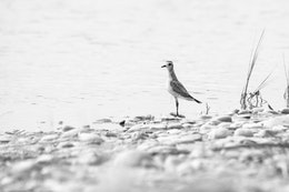 A juvenile american golden plover walking along a tide pool on Sleeping Bear Point.