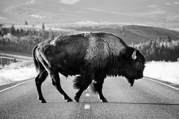 Side view of a bison bull crossing a road.