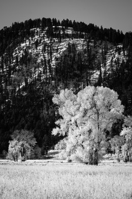 Trees covered in frost, in front of Blacktail Butte, near Mormon Row, Grand Teton National Park.