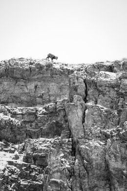 A bighorn sheep lamb scrambling at the top of a ridge at Millers Butte, at the National Elk Refuge.