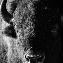 A close-up portrait of a bison.