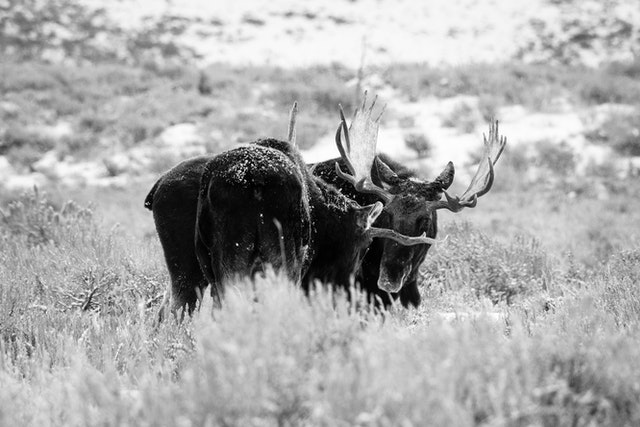 Two bull moose staring each other down while sparring on Antelope Flats.
