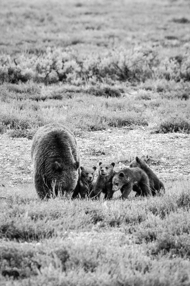 A grizzly sow digging in the ground, with her four cubs standing next to her.