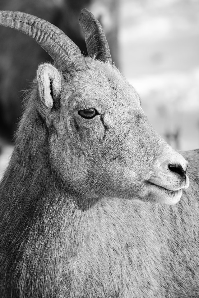 A close-up of a bighorn sheep ewe at the National Elk Refuge, in Wyoming.