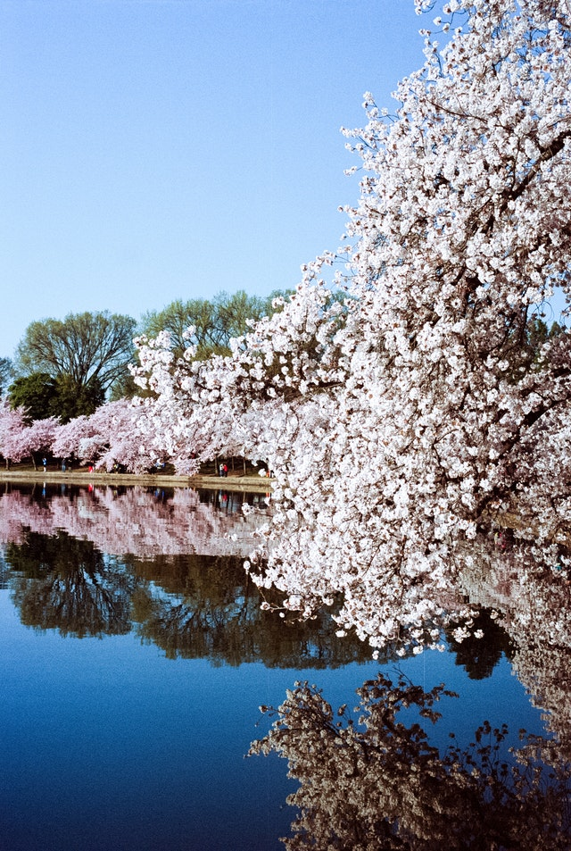 Cherry blossoms on the Tidal Basin.