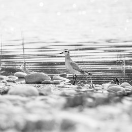 A juvenile american golden plover standing on a tide pool at Sleeping Bear Pool.