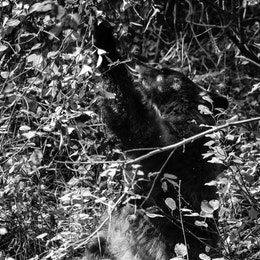 A cinnamon black bear, sitting on its haunches and reaching up to some hawthorn berries in a bush.