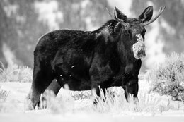 A bull moose with short antlers and a snow-covered snout, standing in the snow at Antelope Flats.