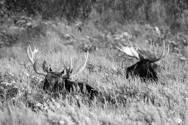 Two bull moose lying down in the brush at Antelope Flats in Grand Teton National Park.