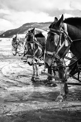 Tom and Selleck lined up with a couple other horses at the end of a wagon tour at the National Elk Refuge.