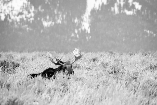 A bull moose lying down on the brush and looking towards the camera at Antelope Flats.