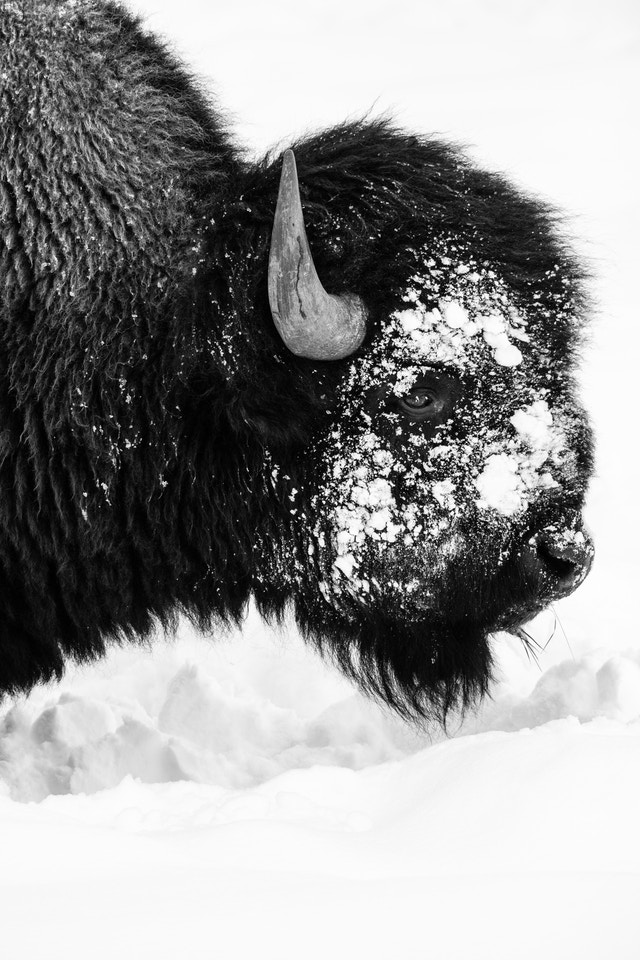 A bison standing in the snow with its face covered in snow, seen from the side.