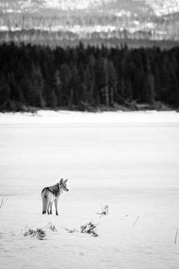 A coyote standing in the snow, with the frozen shore of Yellowstone Lake seen in the background.