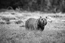 A sub-adult grizzly bear standing on the sage brush near Pilgrim Creek, with a very concerned look on its face.
