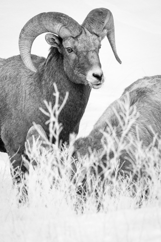 Two bighorn sheep ram. The one on the left is looking towards the camera; the one on the right is heads down, eating, and is obscured by some out of focus grasses in the foreground.