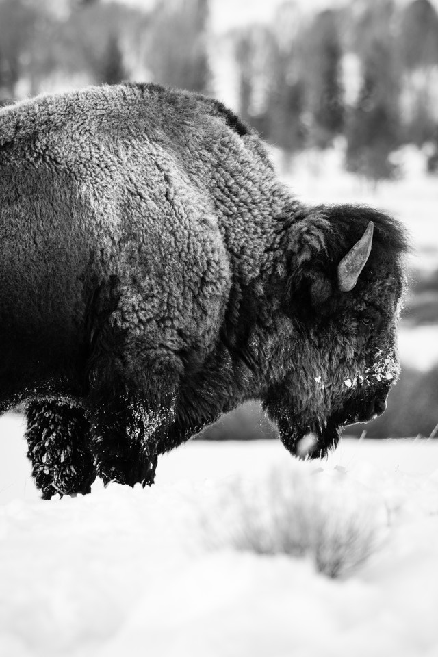 A bison standing in the snow near the Triangle X Ranch, in Grand Teton National Park.