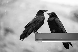 Two ravens sitting on a street lamp.