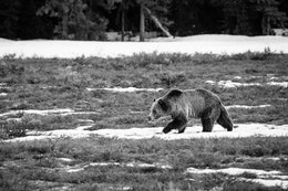 Blondie, a grizzly bear, walking on a patch of snow in an open field at Grand Teton National Park.