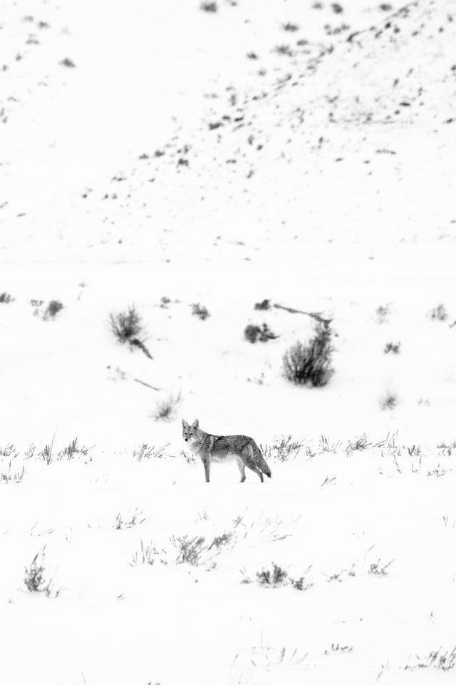 A coyote standing in the snow-covered flats near the Gros Ventre river.