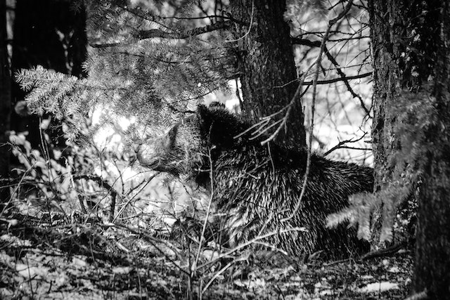 A grizzly bear lying down next to a tree in the woods.