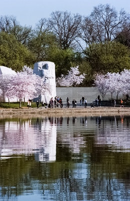 The Martin Luther King Memorial, surrounded by cherry blossoms.