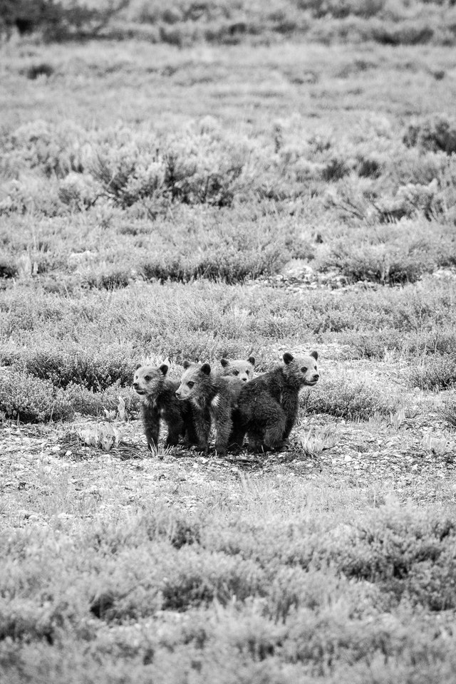 Four grizzly cubs, huddled in an open field.