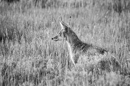 A young coyote sitting in the grass.