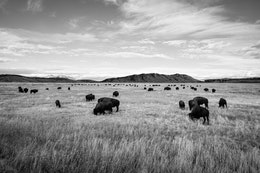 A large herd of bison near the Elk Ranch in Grand Teton National Park.