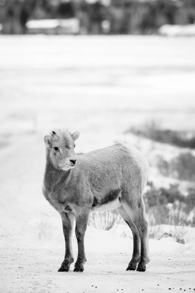 A bighorn sheep lamb standing on the road at the National Elk Refuge.
