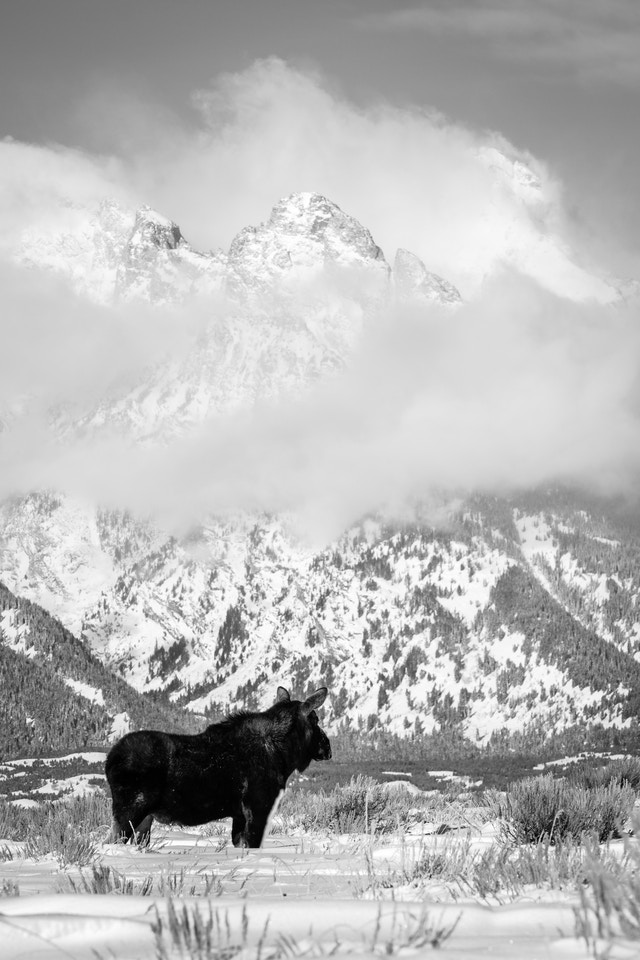 A bull moose standing on the snow at Antelope Flats, with Nez Perce Peak in the background.
