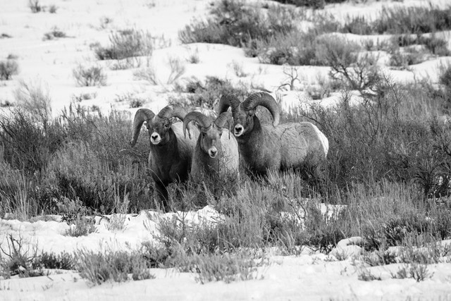 Three bighorn sheep rams standing side by side on a hillside at the National Elk Refuge.