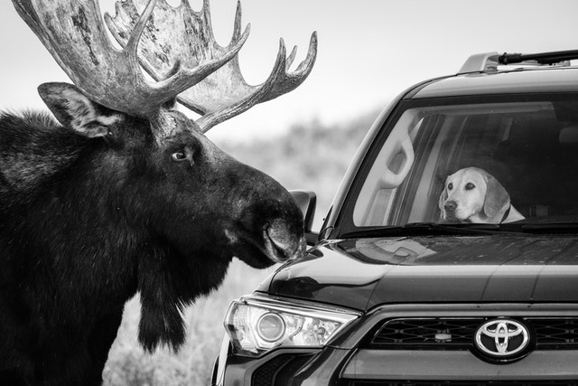 A moose and a dog inside an SUV parked alongside Antelope Flats Road stare at each other.