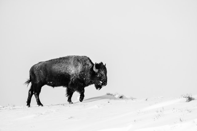 A bison walking along the top of a snow-covered hill.
