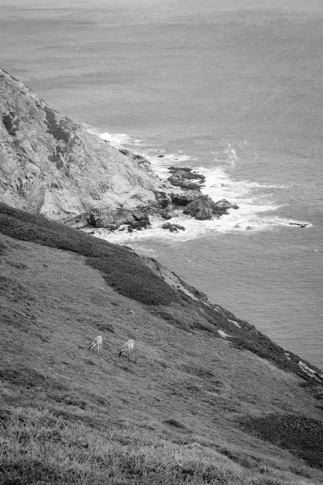 Deer grazing near the Point Reyes Lighthouse.
