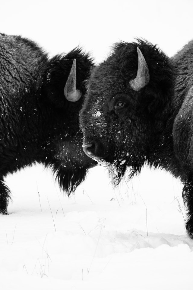 Two bison next to each other on the snow at Elk Ranch Flats.