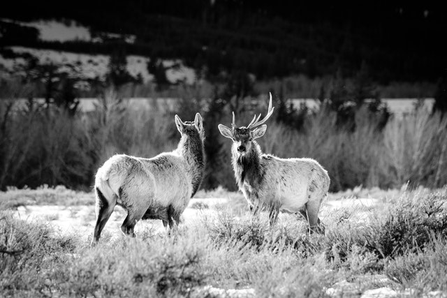 Two elk standing among the sage brush at Grand Teton National Park. One of the them, a bull elk with asymmetrical antlers, is facing the camera.