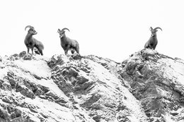 Three bighorn sheep standing on top of a snow-covered rocky ridge at the National Elk Refuge.
