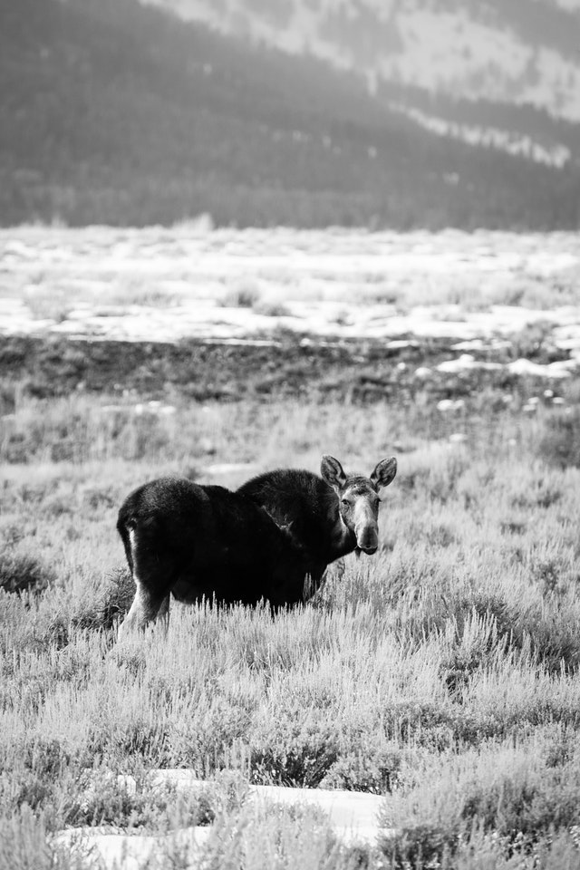 A moose, staring at the camera, near the Gros Ventre Junction.
